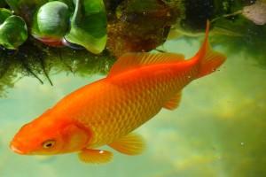 Peluang Usaha Budidaya Ikan Air Tawar Konsumsi