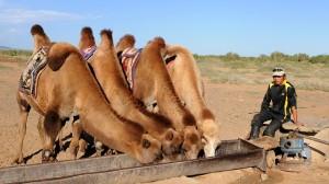 cara penyembelihan hewan qurban unta untuk berapa orang