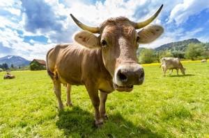 foto sapi qurban terbesar di dunia indonesia prediksi harga idul adha