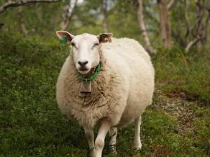 harga jual domba kurban bandung 1436 h termurah