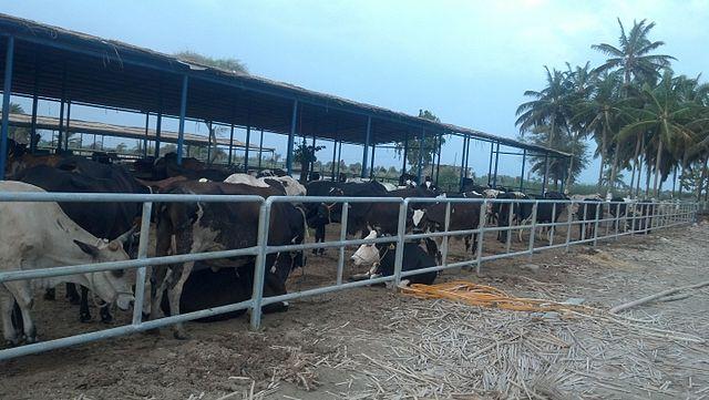 foto peternakan kambing etawa burung puyuh kenari ayam broiler
